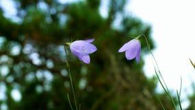 紫色蓝铃花开花,风轮草rotundifolia,在绿色自然本底的特写镜头 股票录像