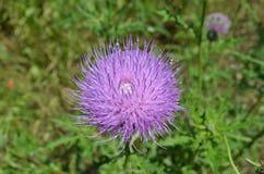 紫色蓟 图库摄影