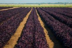 紫色蓬蒿的领域在阳光下 库存照片