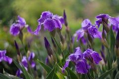 紫色虹膜在一个绿色庭院里在春天开花 免版税库存图片