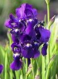紫色虹膜在庭院里开花有绿色背景 库存照片