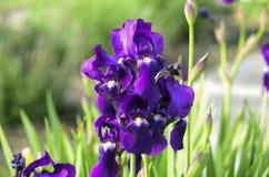 紫色虹膜在庭院里开花有绿色背景 免版税库存照片