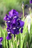 紫色虹膜在庭院里开花有绿色背景 库存图片