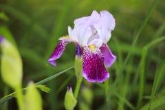紫色虹膜花特写镜头在雨以后的夏天庭院里 免版税库存图片