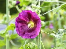 紫色蜀葵,Alcea rosea 免版税库存照片