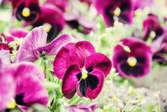 紫色蝴蝶花,减速火箭的过滤器,春天 免版税图库摄影