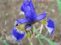 紫色西伯利亚虹膜虹膜sibirica花,看法的关闭 库存照片