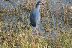 紫色西部在湖swamphen 免版税库存照片