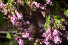 紫色退色的牛至属植物 库存照片