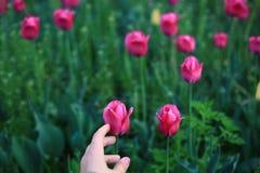 紫色郁金香和手 库存图片