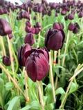 紫色郁金香在公园背景中 库存照片
