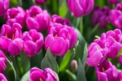 紫色郁金香特写镜头 免版税库存照片