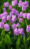紫色郁金香 一些反弹严格晴朗那里不是的蓝色云彩日由于域重点充分的绿色横向小的移动工厂显示天空是麦子白色风 郁金香的域 郁金香花 免版税库存照片