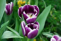 紫色郁金香 库存图片