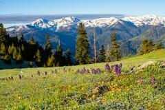 紫色野花在绿色山草甸开花 库存图片