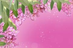 紫色金合欢 免版税图库摄影