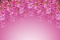 紫色金合欢 免版税库存照片
