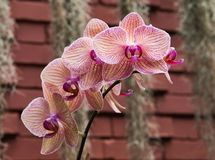 紫色镶边兰花 免版税库存照片