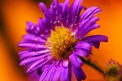 紫色雏菊在雨中 免版税库存图片