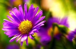 紫色雏菊,关闭 库存图片