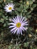 紫色雏菊 库存照片