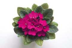 紫色非洲堇非洲紫罗兰花从上面 美国houing的市场的符号 免版税库存照片