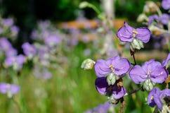 紫色颜色紫鸭跖草或紫露草属开花 库存照片