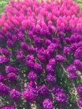 紫色风信花开花开花 库存照片
