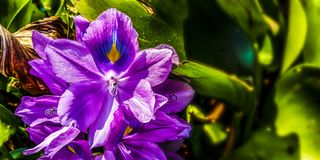 紫色风信花花 图库摄影