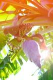 紫色香蕉花在房子区域 库存照片