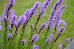 紫色鹿舌草spicata花在庭院里 免版税图库摄影
