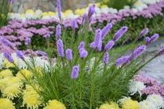 紫色鹿舌草spicata花在庭院里 免版税库存照片