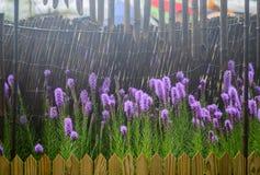 紫色鹿舌草spicata花在庭院里 库存图片