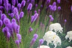 紫色鹿舌草spicata花在庭院里 库存照片