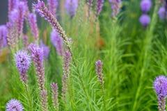 紫色鹿舌草spicata花在庭院里 免版税库存图片