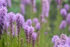 紫色鹿舌草spicata花在庭院里 图库摄影