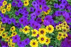 紫色黄色 库存图片