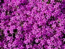 紫色 免版税库存图片