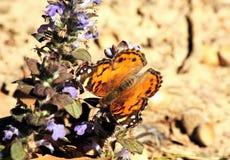紫色Ajuga的美国夫人Butterfly 库存图片