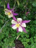 紫色Columbine 库存照片