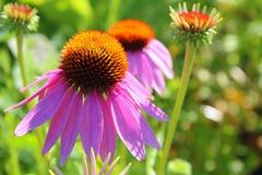 紫色Coneflower海胆亚目Purpurea 免版税库存图片