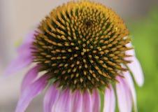 紫色Coneflower特写镜头宏指令 库存图片