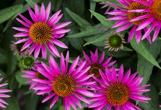 紫色coneflower,海胆亚目purpurea,红宝石星coneflower, pic 库存图片