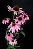 紫色Coneflower 15 免版税库存照片