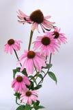 紫色Coneflower 16 免版税库存照片