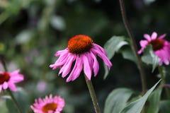 紫色coneflowers特写镜头,在绽放的海胆亚目purpurea在春天 草本庄稼  药用植物概念 ?? 免版税库存照片