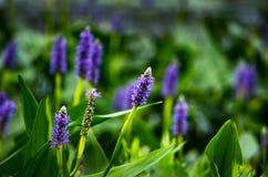 紫色larkspur 免版税库存图片