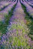 紫色Levander领域 免版税库存图片
