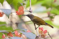 紫色naped Sunbird。 免版税图库摄影