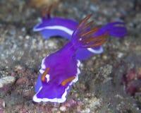 紫色nudibranch Hyselodoris apologema 免版税库存照片